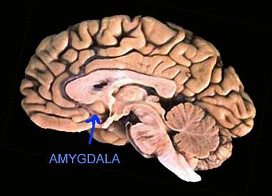 Amygdala « Vampyre Fangs