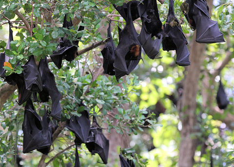 Black flying fox size
