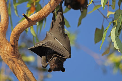 black-flying-fox