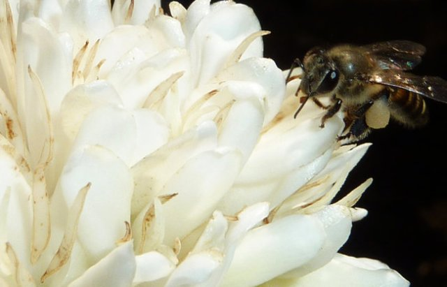 bee-coffee-flower