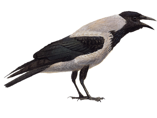 hooded-crow-2