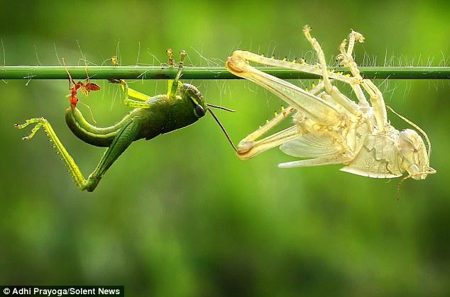 grasshopper-skin