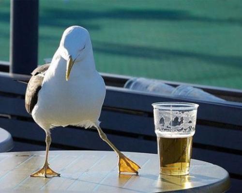 drunk_seagull