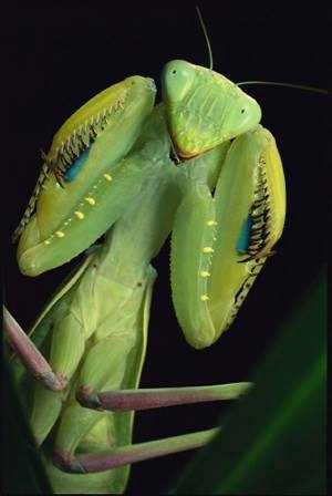 preying-mantis
