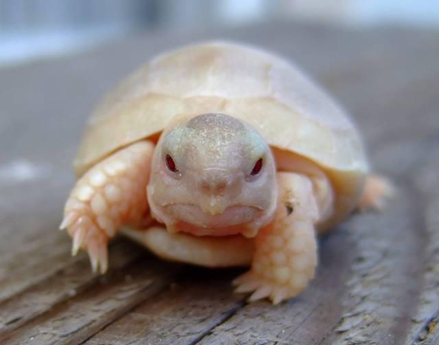 albino-turtle