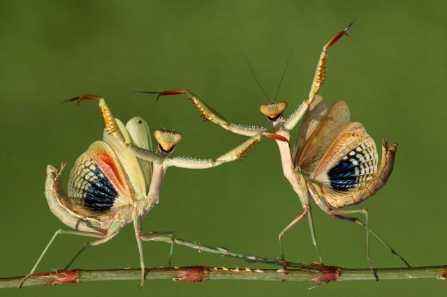 mantis-dance