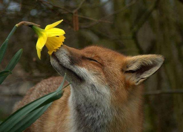 flower-fox
